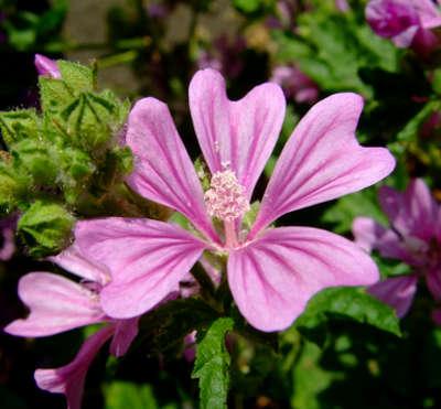 La Malva, fiore