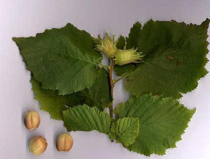 Corylus avellana, il nocciolo, le foglie