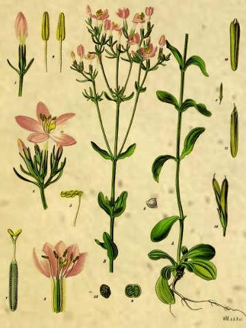 La Centaurea minore (Centaurium erythraea)