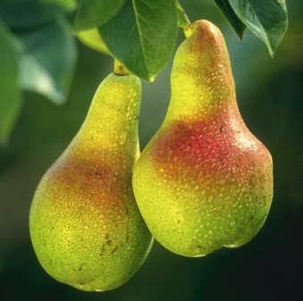 Il pero, il frutto: le pere