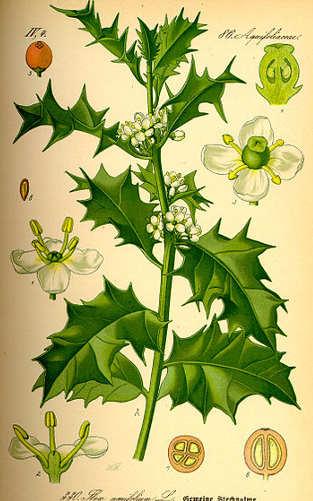 L'agrifoglio Ilex aquifolium L.