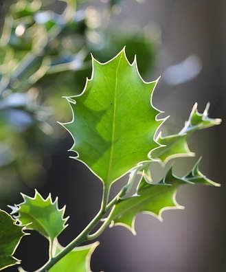 L'agrifoglio, le foglie