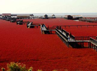 La spiaggia rossa di Panjin in Cina