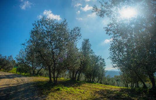 Ulivi dell'Azienda Agricola Leonardo Manetti