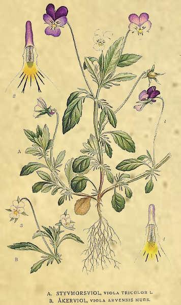 Viola tricolor L. La viola del pensiero