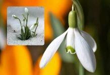 Il bucaneve, bianco fiore del cuore