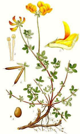 Lotus corniculatus L., Il ginestrino