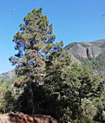 Il pino delle Canarie (Pinus canariensis), La Caldera Tenerife