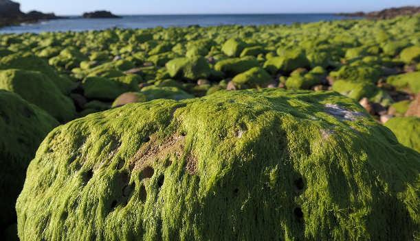 Piante di mare: Le alghe