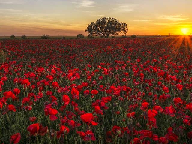 Linguaggio dei fiori: il rosolaccio, il fiore della rimembranza