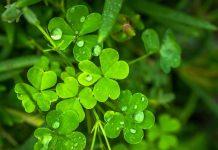 Erbe Irlandesi Il trifoglio, non a caso