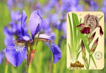 L'iris, l'antica Fleur de Lys