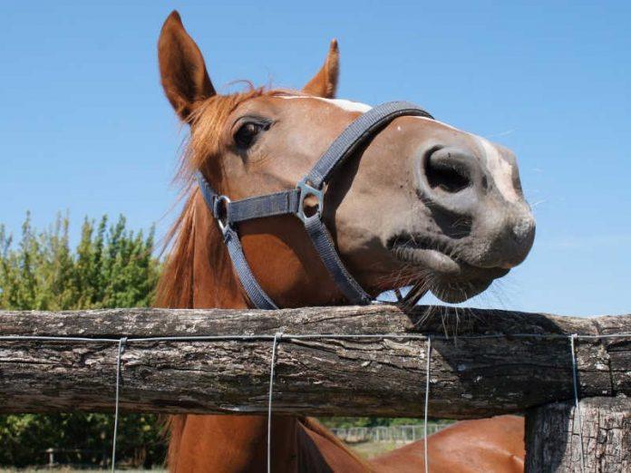 Furti e traffici illeciti di carne di cavallo