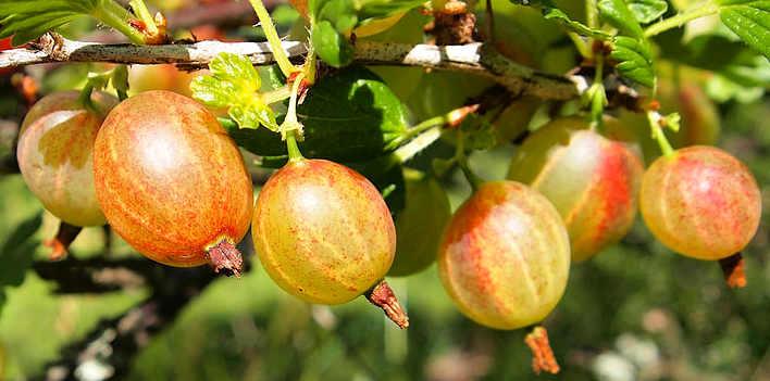 Principi attivi Uva spina Ribes uva-crispa L.