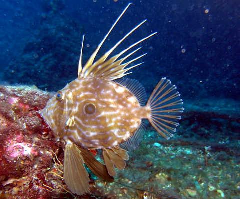Animali con nomi della mitologia: Il pesce San Pietro (Zeus faber)