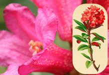 Il rododendro, che sbaragliò l'esercito di Ciro