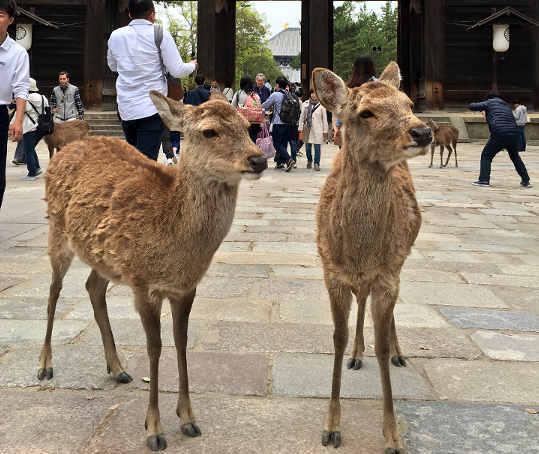 I cervi Sika al Il tempio Tōdai-ji a Nara