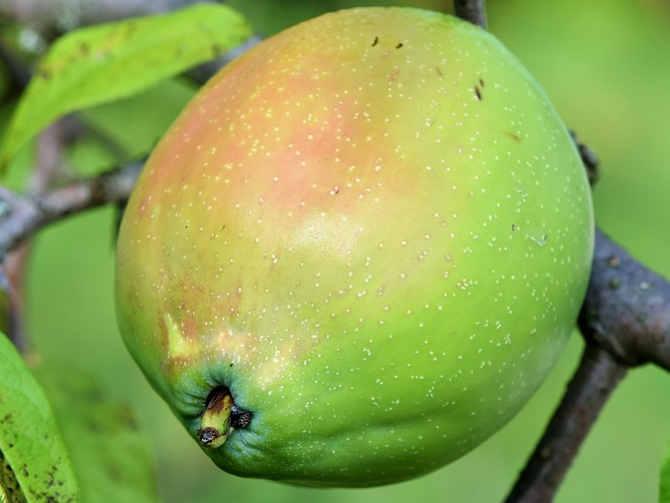 Il frutto verde (Cydonia oblonga Miller)