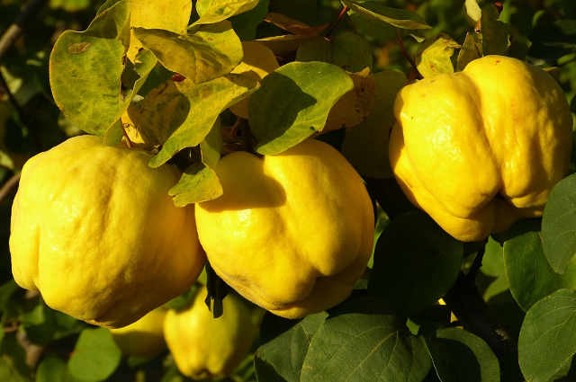 Il cotogno, i frutti: cotogna