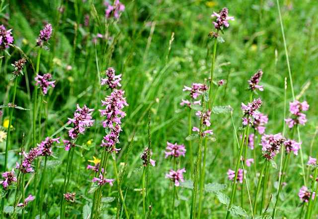 La betonica, Stachys officinalis Trev