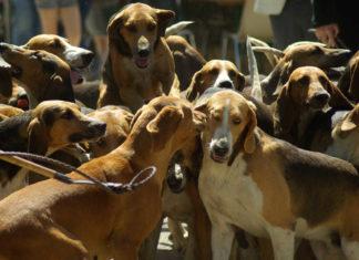 Greyhound e Galgo spagnolo o levriero galgo