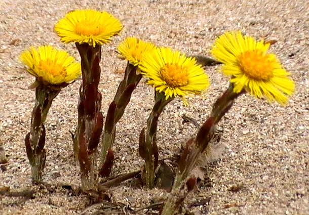 I fiori del Farfaro Tussilago farfara L