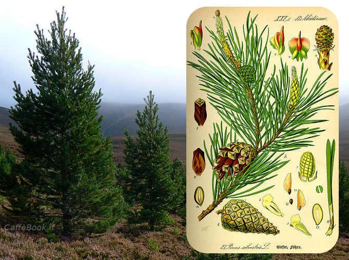 l pino silvestre (o Pinus sylvestris L.)