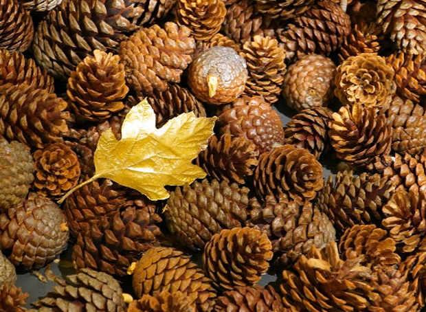 Pigne di Pinus sylvestris L.