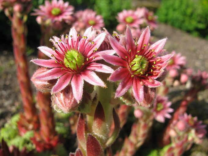 Fiori, Sempervivum tectorum L.