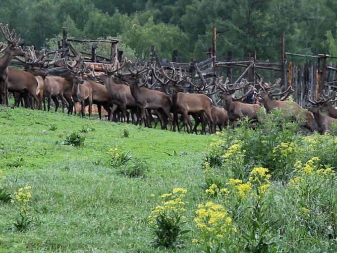 Raggruppamento nei recinti deI cervi per amputazione dei palchi