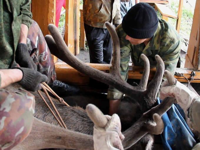 Preparazione dei cervi per l'amputazione dei palchi