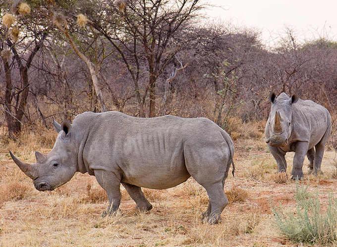 Il corno del rinoceronte 1