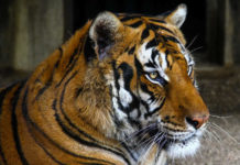 In Cina il Vino si fa con le Ossa di Tigre