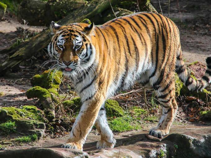 Il Vino si fa con le Ossa di Tigre uno status symbol