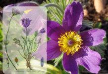La pulsatilla o fiore di Pasqua