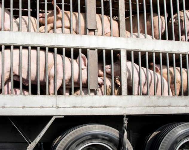 Stress su animali durante il trasporto di animali vivi