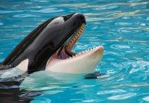La drammatica prigionia dei cetacei nei parchi acquatici