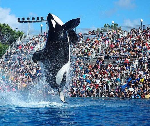 I cetacei nei parchi acquatici: esibizione di un'orca in un parco acquatico