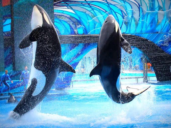 I cetacei nei parchi acquatici: Orche costrette ad esibirsi in un parco acquatico