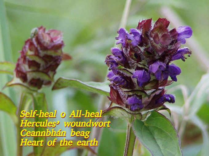 Tutti i nomi della prunella (prunella vulgaris L)
