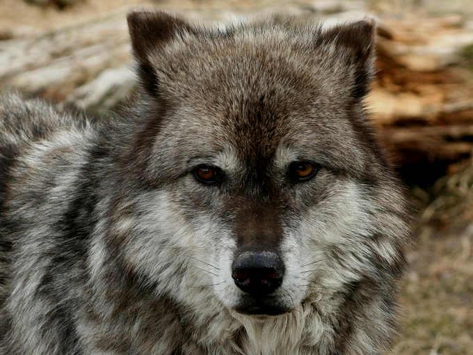 3 Dialogo con se stessi sul desiderio, la via del lupo solitario