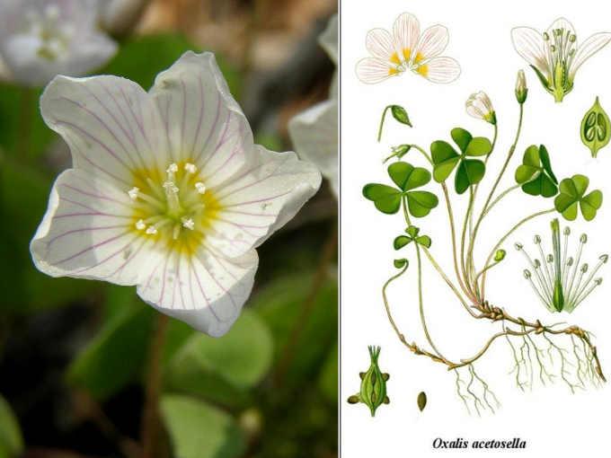 Acetosella classificata Oxalis acetosella L.