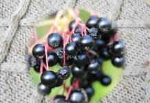 Le erbe tinctorie: il sambuco