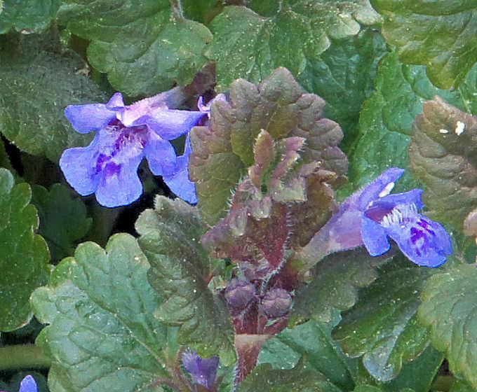 Le foglie e fiori dell'Edera terrestre Glechoma hederacea L.